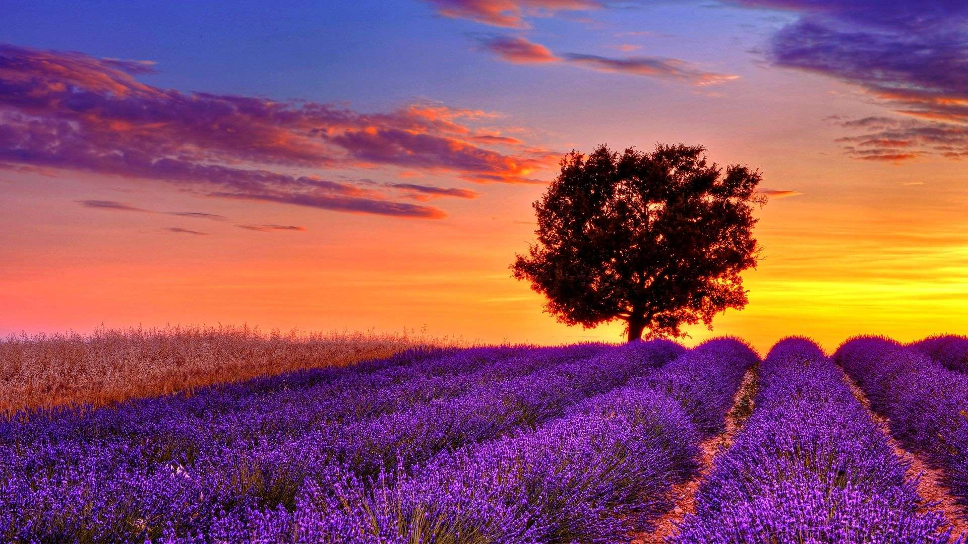 High Resolution Wallpaper: Lavender-flower-field-sunset-high-resolution-wallpaper-for