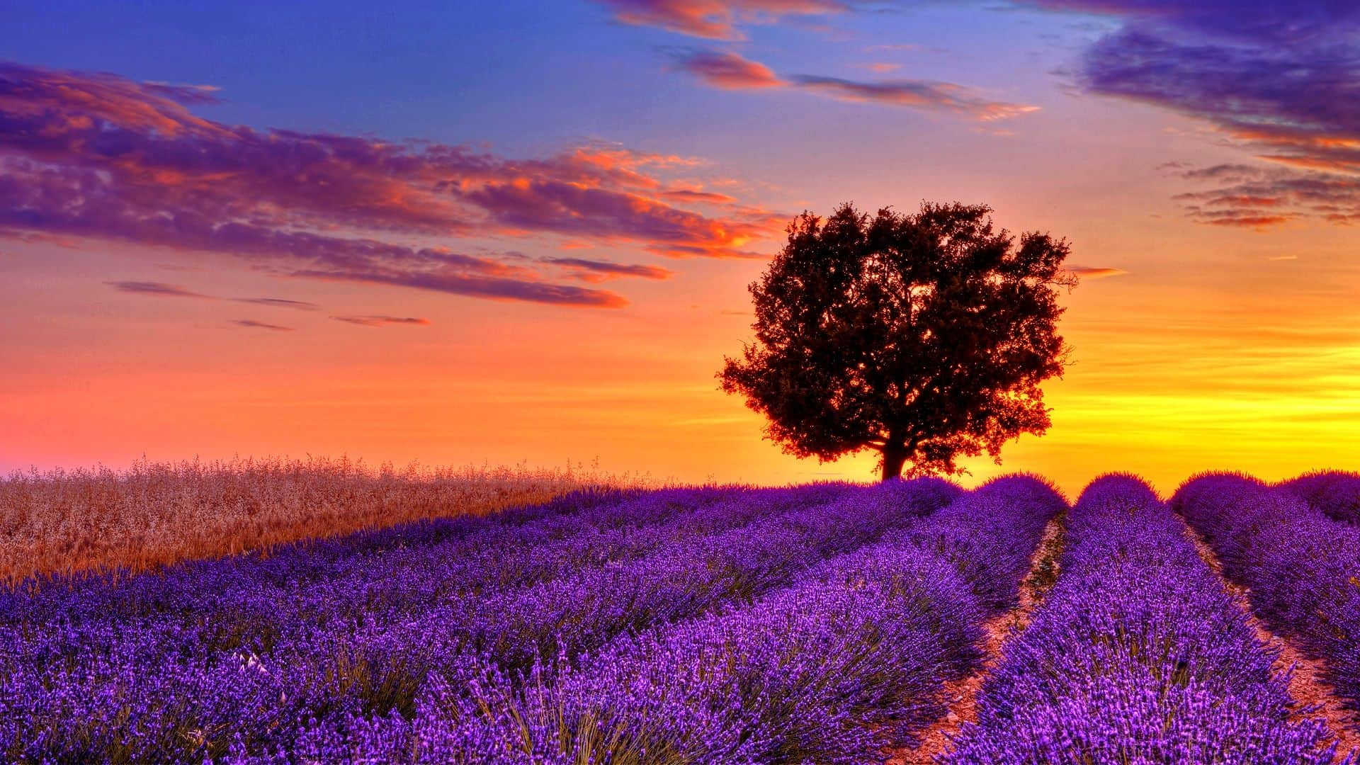 Lavender Flower Field Sunset High Resolution Wallpaper For Desktop
